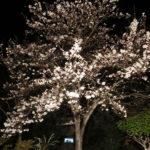 夜桜も幻想的です