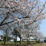 病院裏手の桜も満開です