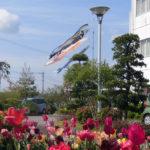 春の花と鯉のぼり